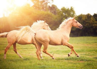 palomino-horses-cantering-in-field-452240765-588f8e483df78caebc18aa61
